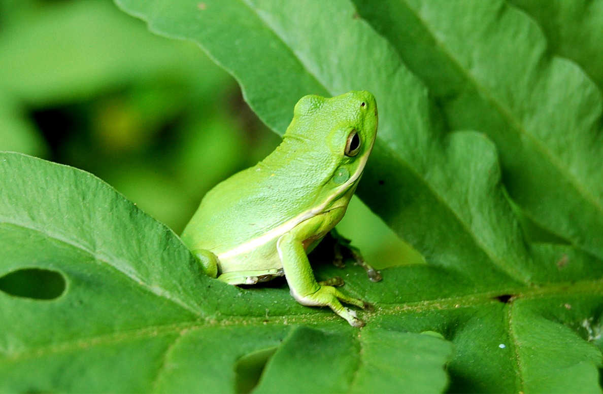 green tree frog05 2dnw4cc